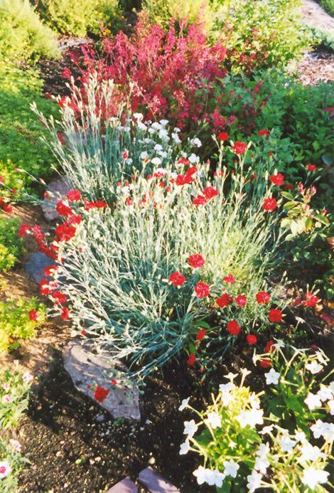 Grenadin Red Carnation Dianthus Caryophyllus At Holland Nurseries