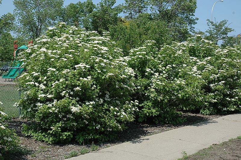 Highbush Cranberry Viburnum Trilobum In St John S