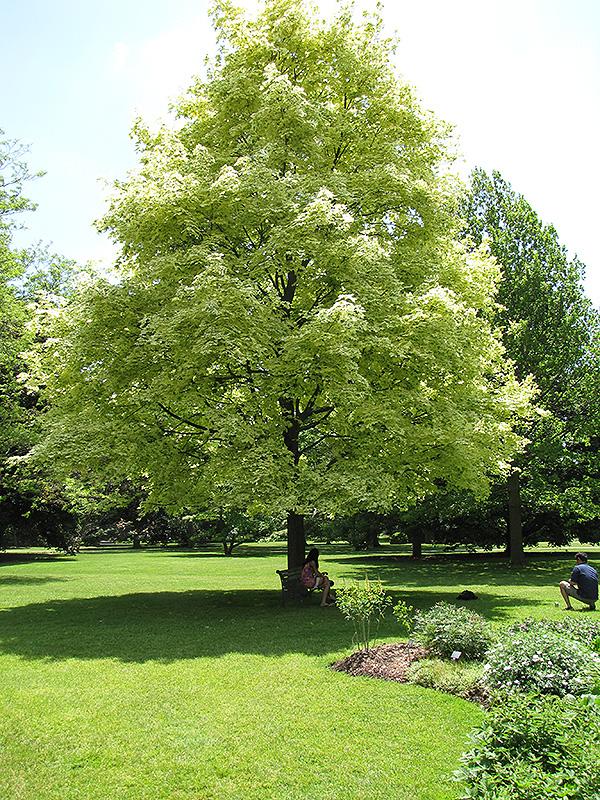 Harlequin Norway Maple Acer Platanoides Drummondii In